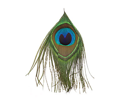 Peacock Eye Feather 110-130mm