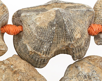 Shell Fossil Freeform Nugget Graduated 13-35x11-31mm