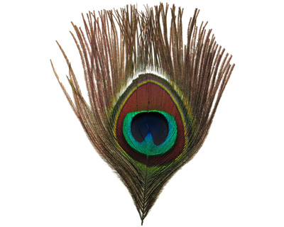 Peacock Eye Feather 80-100mm