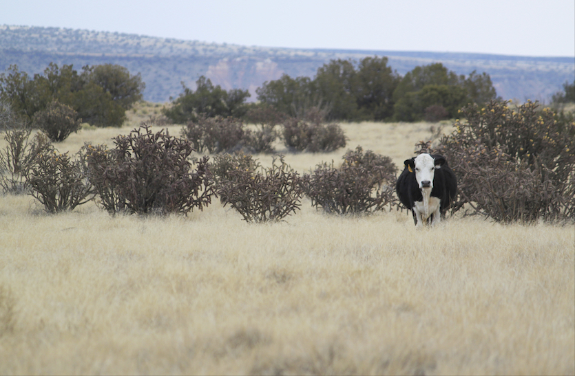 Cow grazing in New Mexico, 2/18