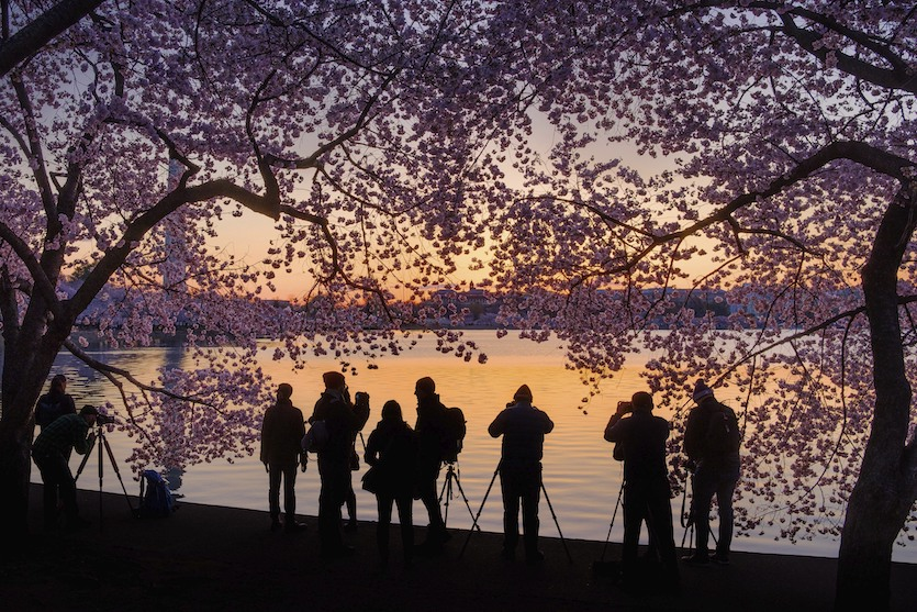 Photographers line up along the edge of the Tidal Basin in Washington to shoot the blossoming cherry trees at sunrise, Thursday, April 5, 2018