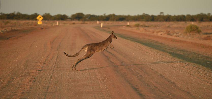 Kangaroo in drought-stricken Australia, Sept. 2018