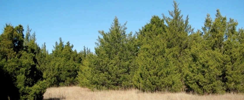 Example of eastern redcedar