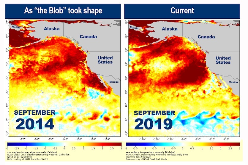 A comparison of sea surface temperature anomalies (departures from the seasonal average) in the Northeast Pacific in September 2014 (left) versus September 2019 (right).