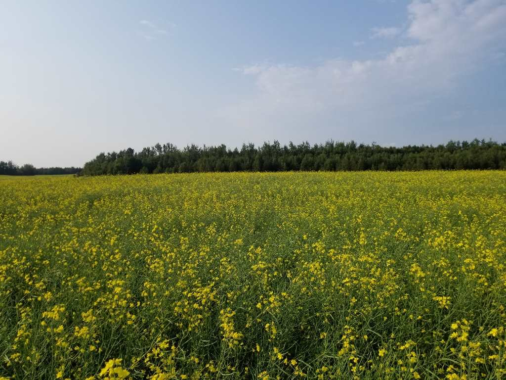 156.94 Acres Crop Land West of Barrhead. Currently in cereal grain and canola rotation. Approximately 126 acres cultivated with a balance of bush of which there is additional clear-able. Gentle roll with good producing soils. Easily accessible on highway location. Additional 2 quarters Touching on North East corner and East side  of property available for sale with 100 acres cultivated and surface lease revenue on one quarter and Excellent meticulously maintained yard site and home with pasture and mature bush on the other.