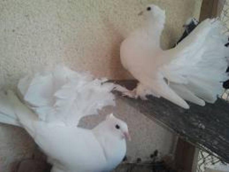 صور زوج حمام هزاز ابيض