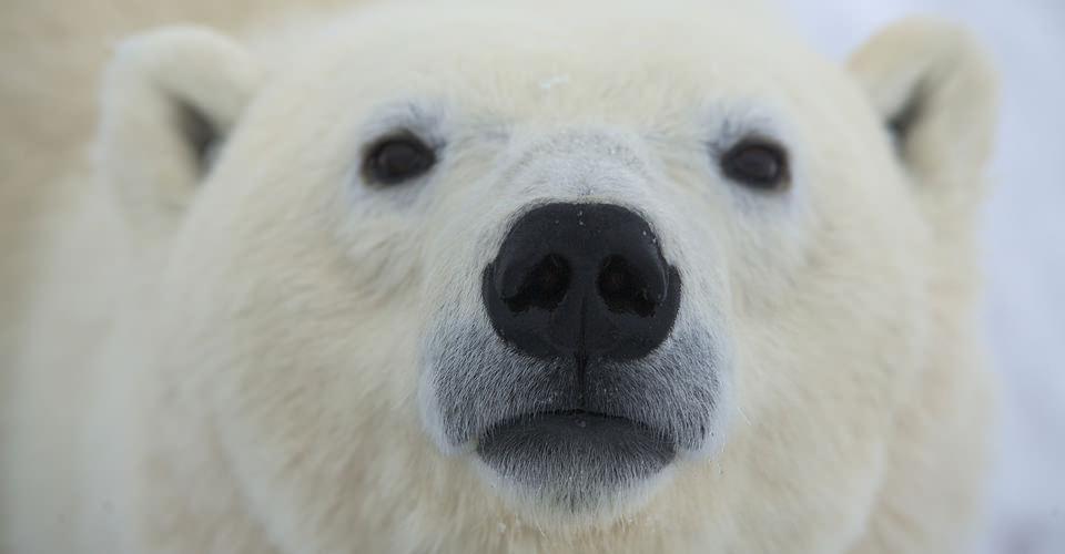 Polar bear looking at you.