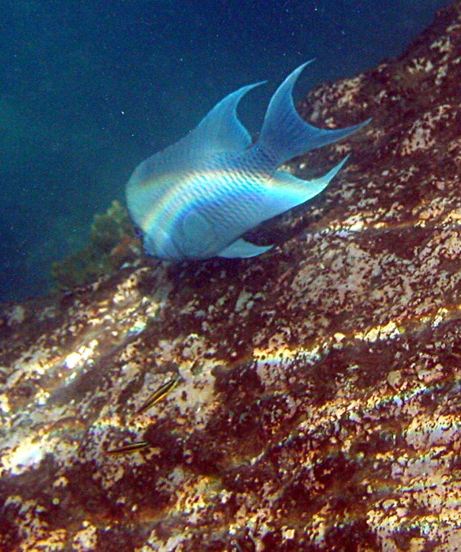 blue spotted ray classification essay