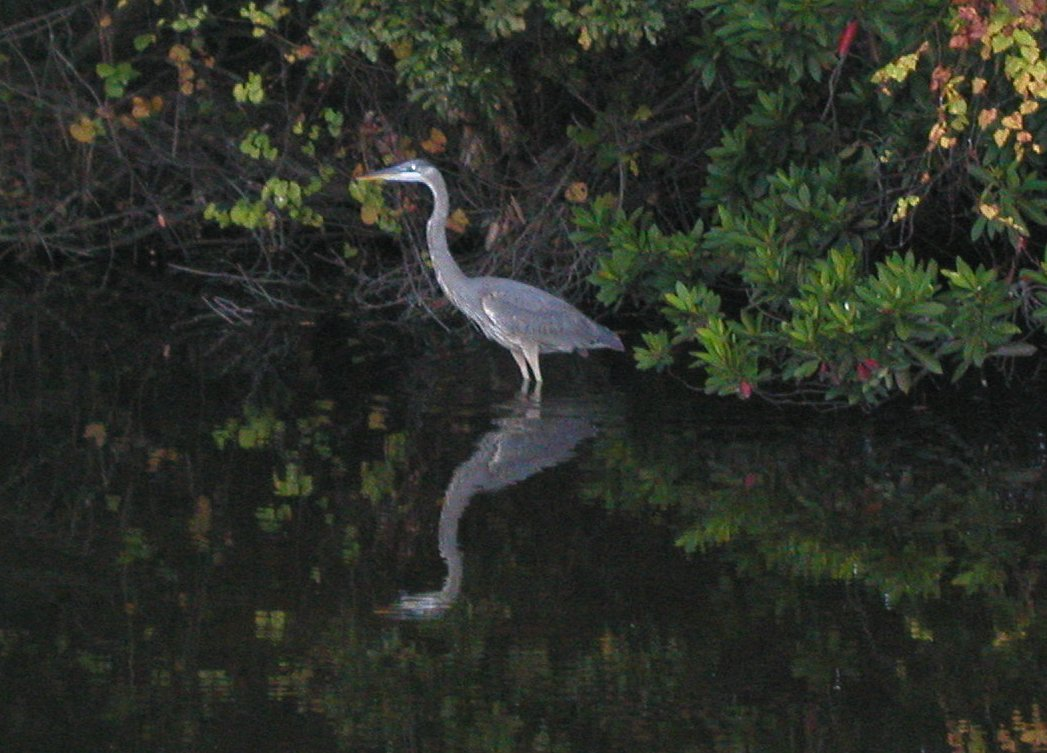 photo essays blue heron jpg