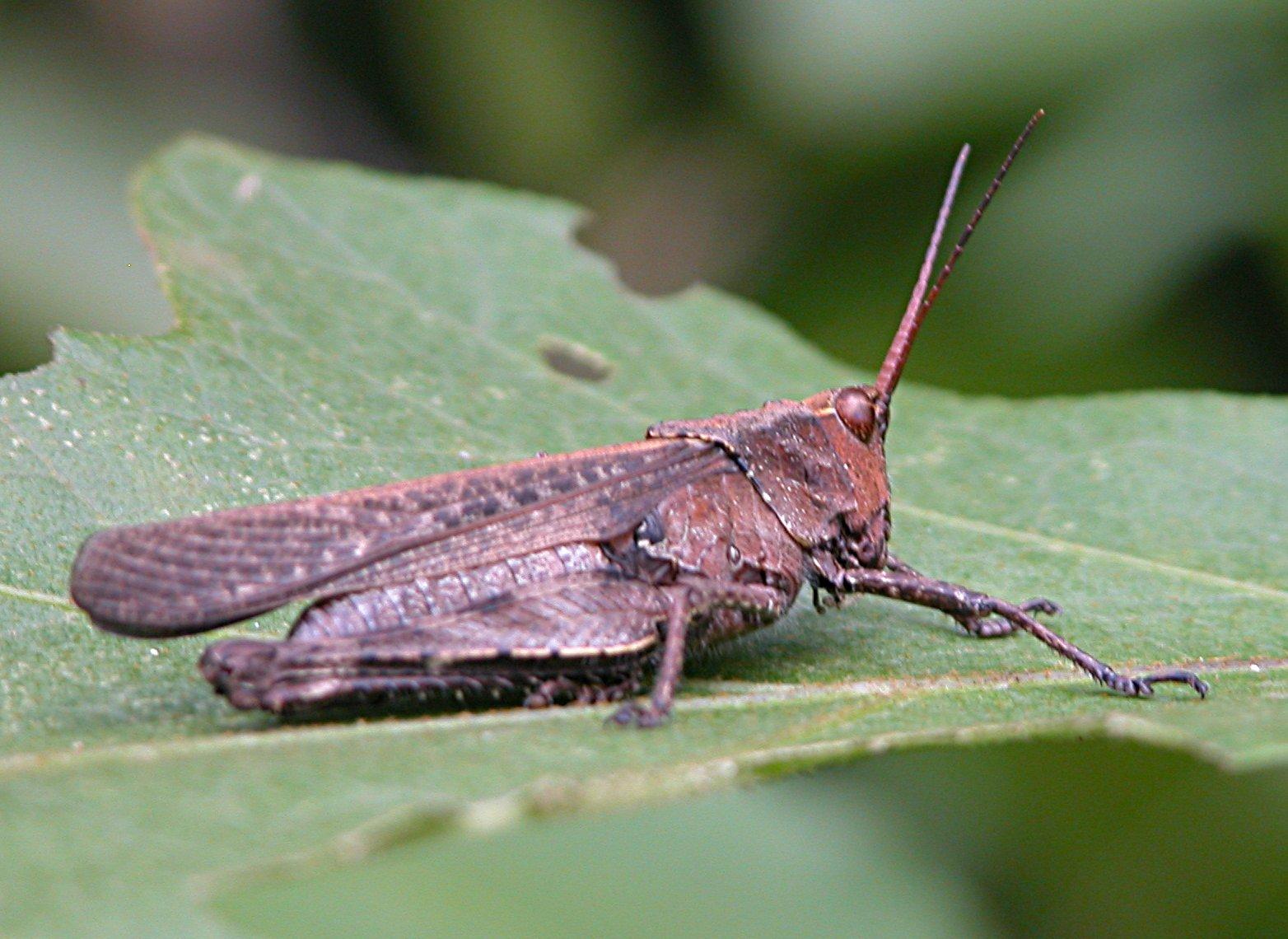 Comparing essay about grasshopper