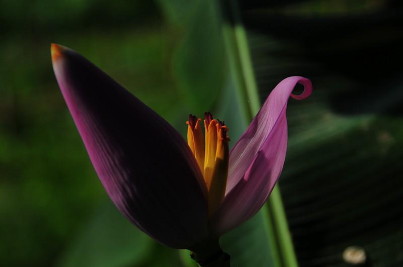 apr 01 2886 banana flower
