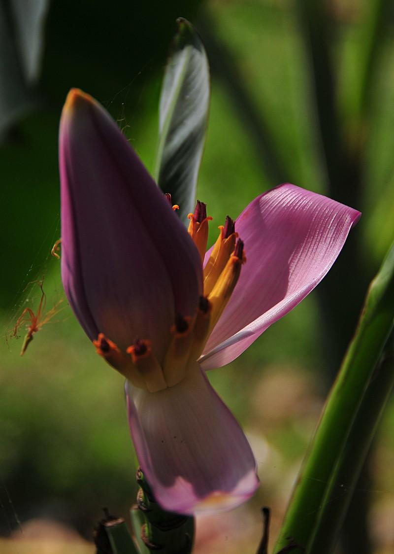 apr 01 2904 banana flower