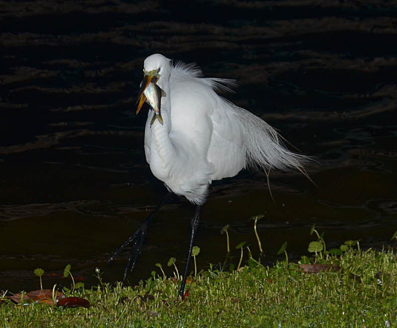 apr 02 9158 snowy egret fish
