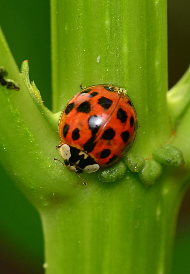 apr 04 0382 ladybug