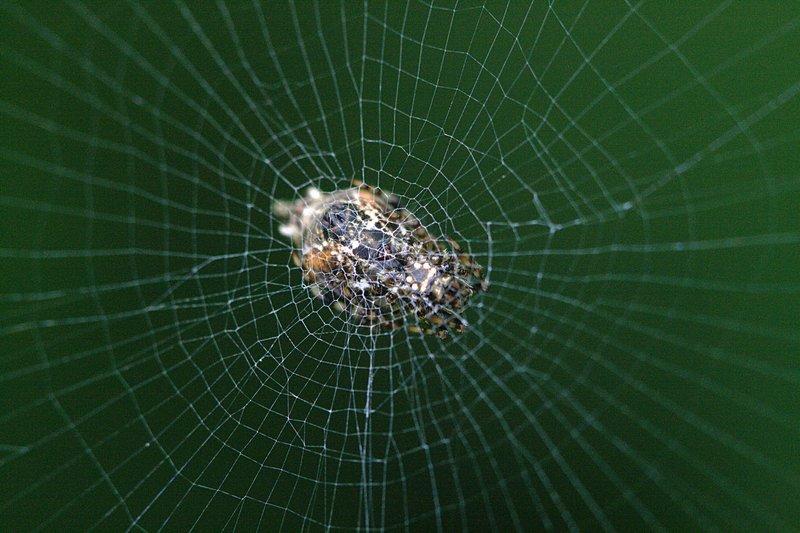 apr 06 2535 cyclosa behind web