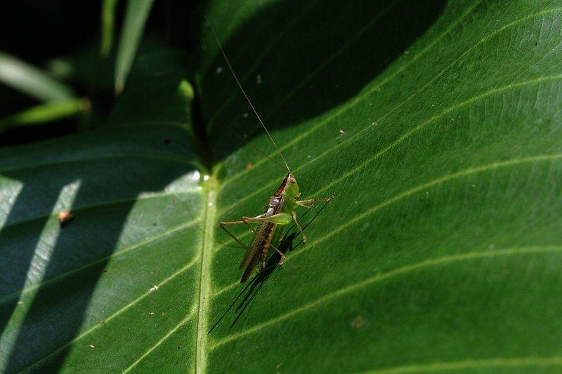 apr 06 2600 green grasshopper