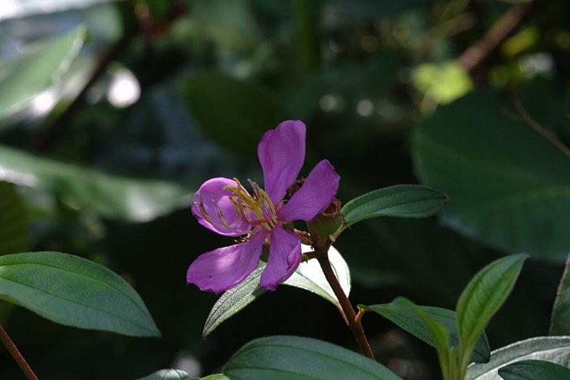 apr 06 2628 melastomataceae