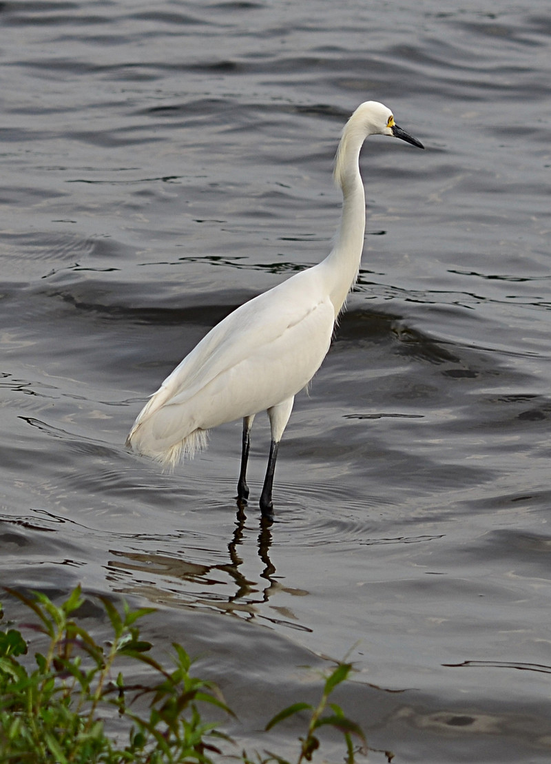 an essay on a white heron by brandi jones Brandi k jones e316k - anderson january 31, 1995 a white heron in sarah orne jewett's a white heron, there exists an undeniable environmental statement by the narrator and sylvia, the.