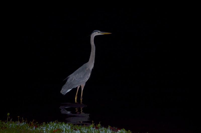apr 07 9931 morning blue heron