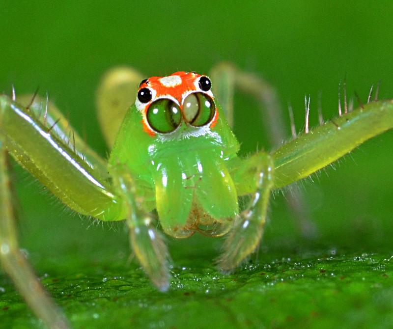 apr 08 6315 lyssomanes eyes