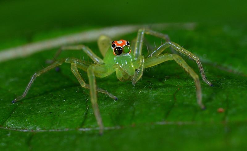 apr 08 6370 lyssomanes viridis retina