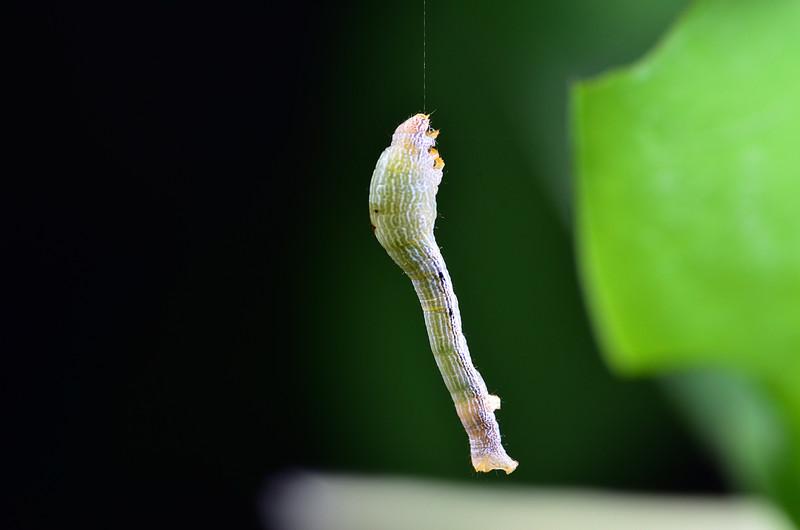 apr 09 6416 dangling caterpillar