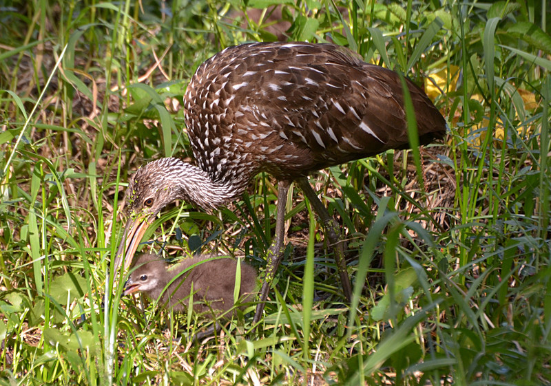 apr 10 0211 limpkin feeding baby