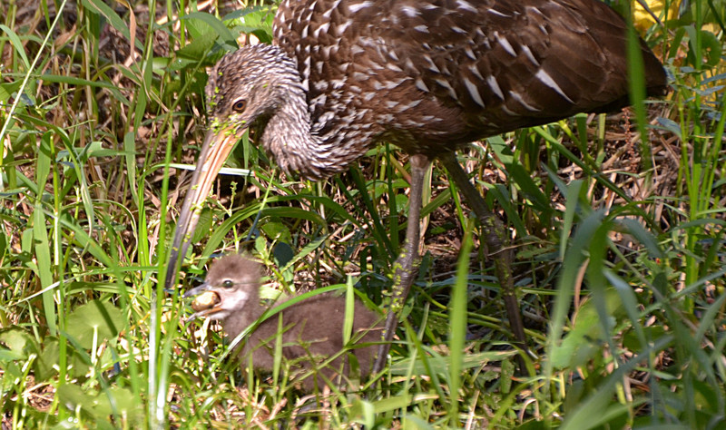apr 10 0212 baby limpkin eating snail