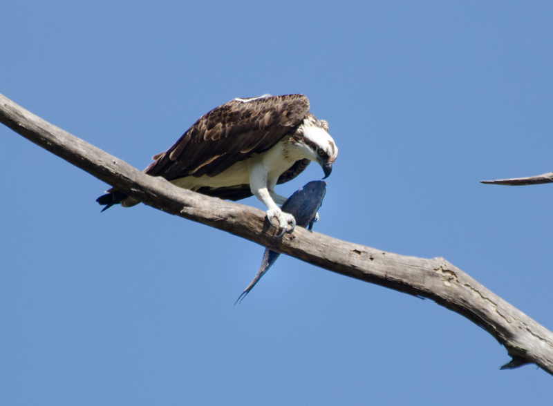 apr 10 0266 osprey fish