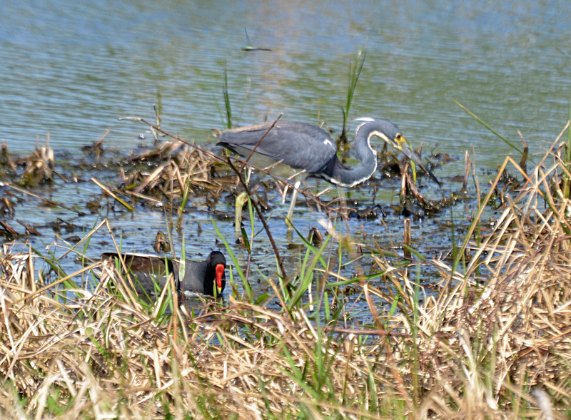 apr 10 0358 baby blue heron gallinule