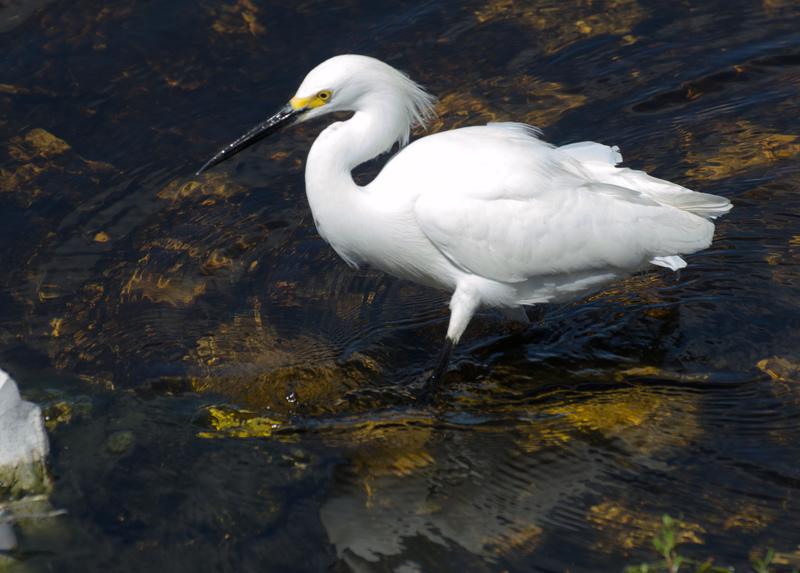 apr 10 0392 snowy egret