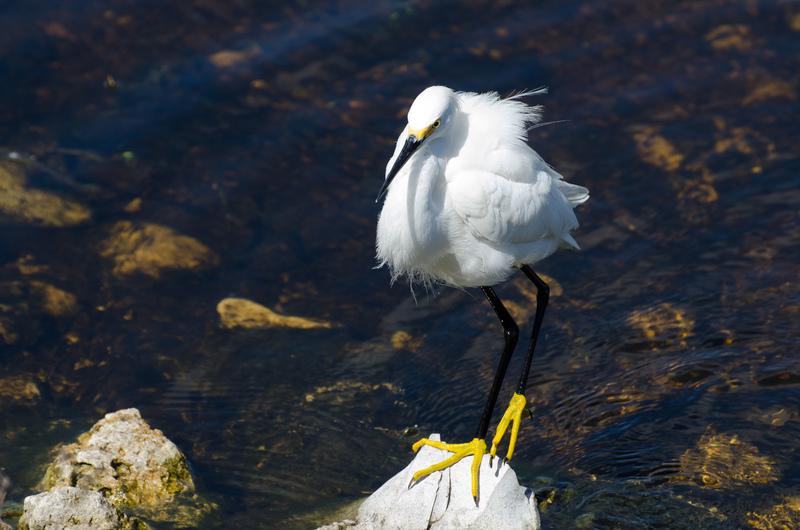 apr 10 0395 snowy egret