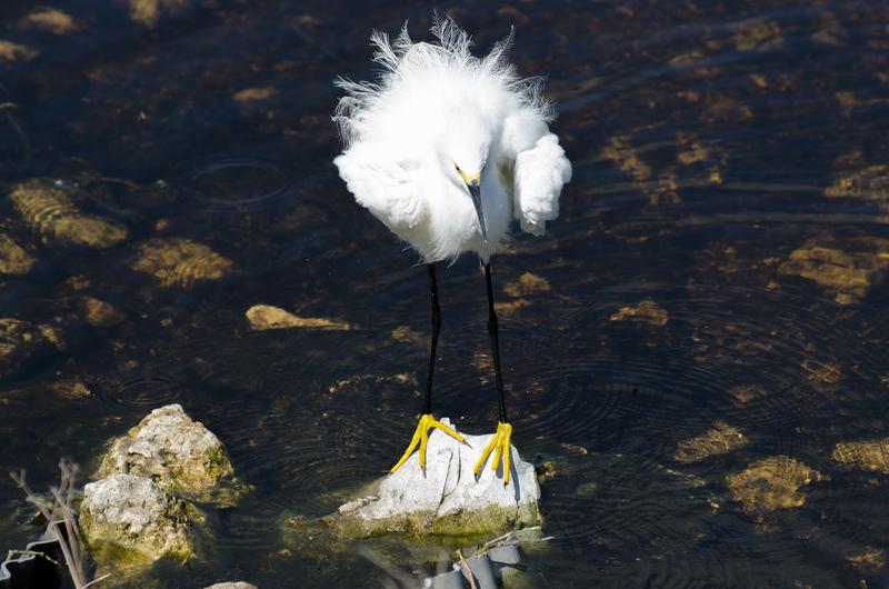 apr 10 0398 snowy egret