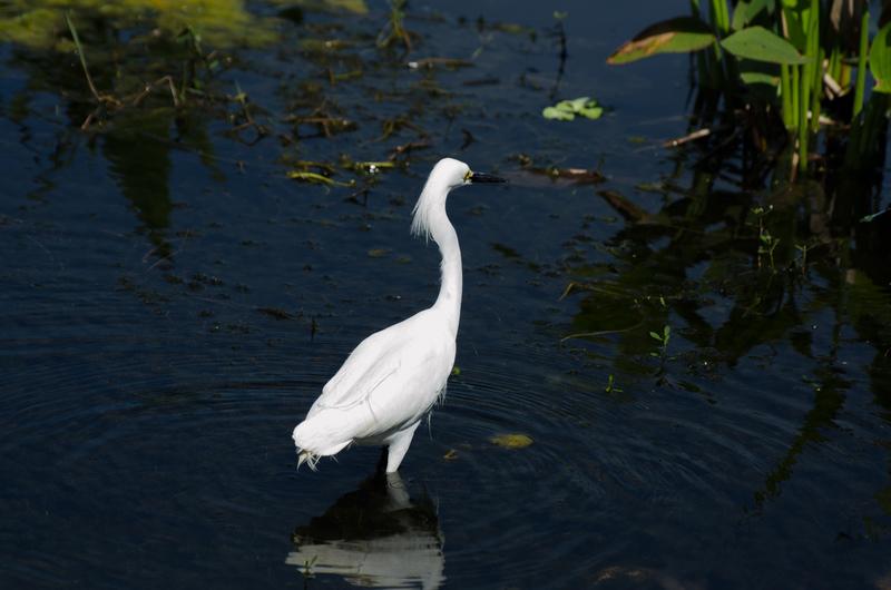 apr 10 0417 snowy egret