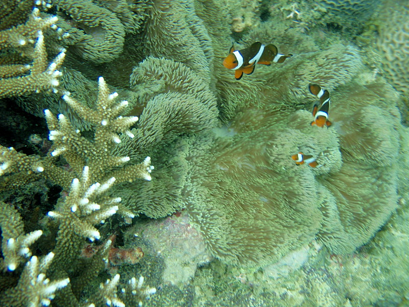 apr 11 0260 clown fish