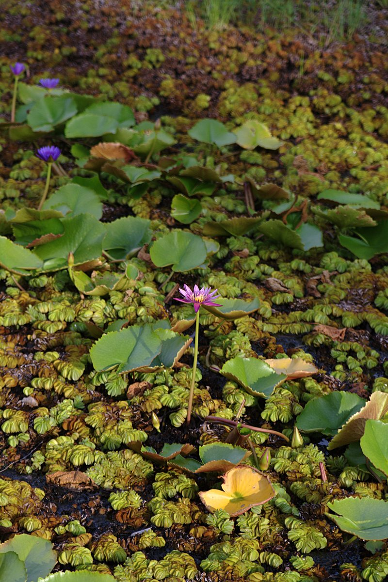 apr 11 2675 lonely water lily