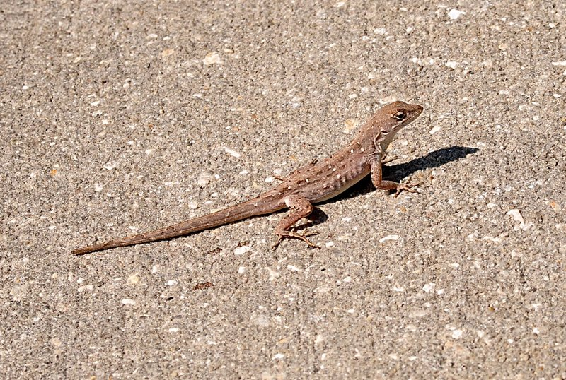 apr 11 7886 st lizard