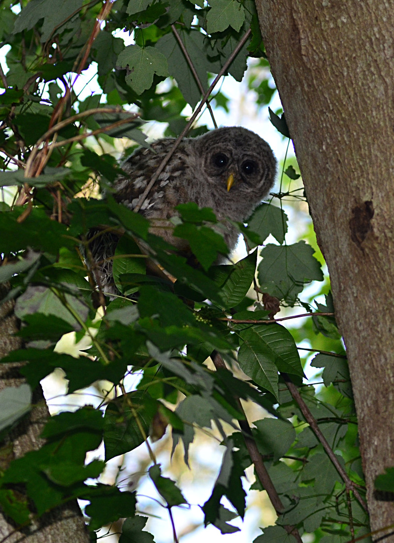 Image Result For Baby Owl Limb