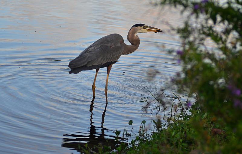 essay heron white