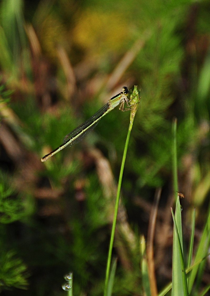 apr 15 9340 damselfly
