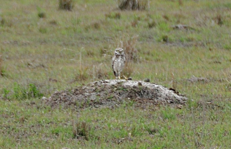 apr 15 9684 burrowing owl