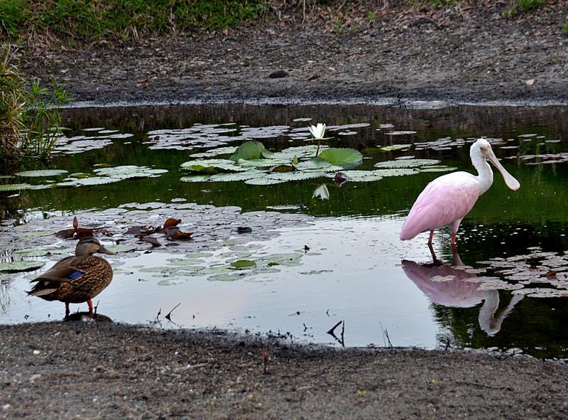 apr 16 0507 duck spoonbill