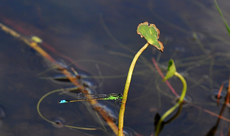 apr 17 4618 damselfly