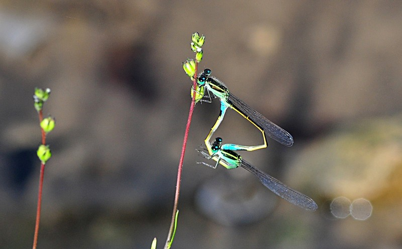 apr 17 4627 mating damselflies