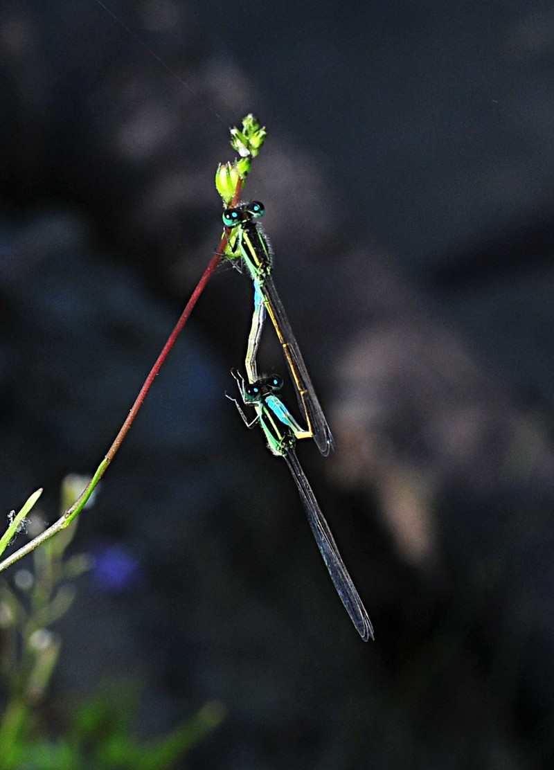 apr 17 4666 mating damselflies