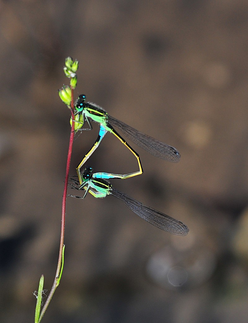 apr 17 4680 mating damselflies