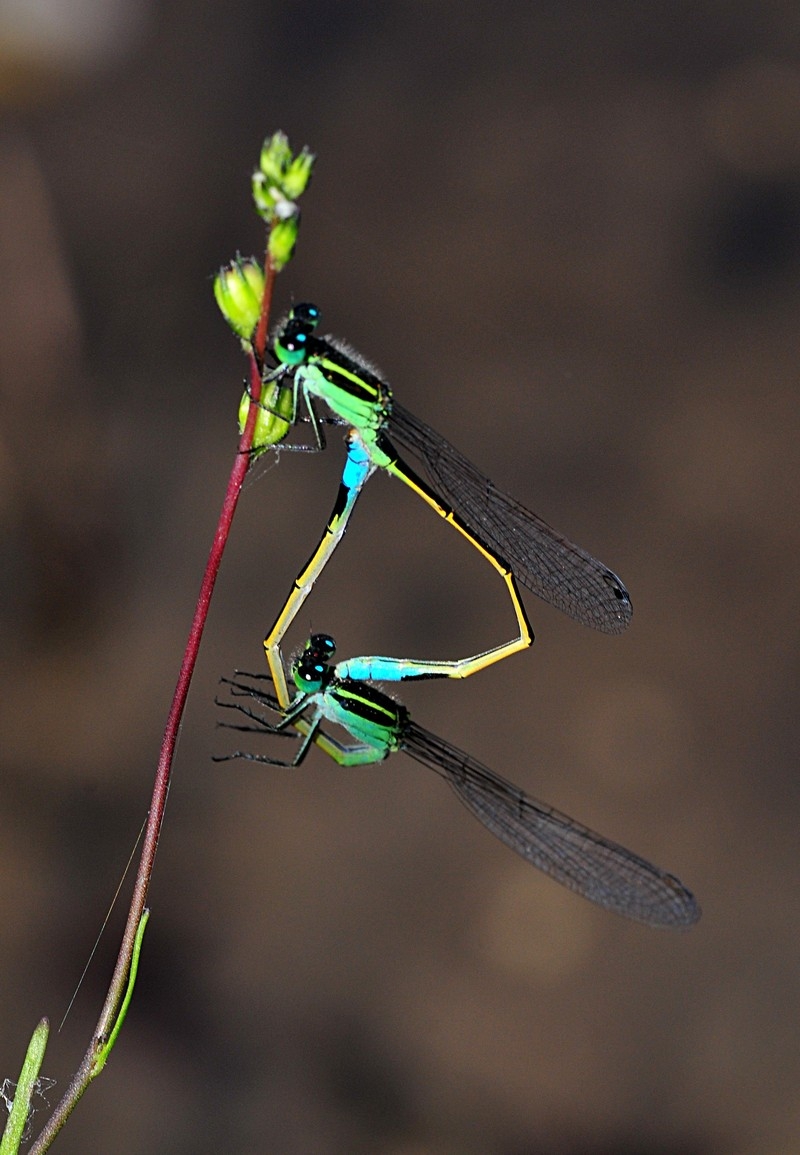 apr 17 4690 mating damselflies