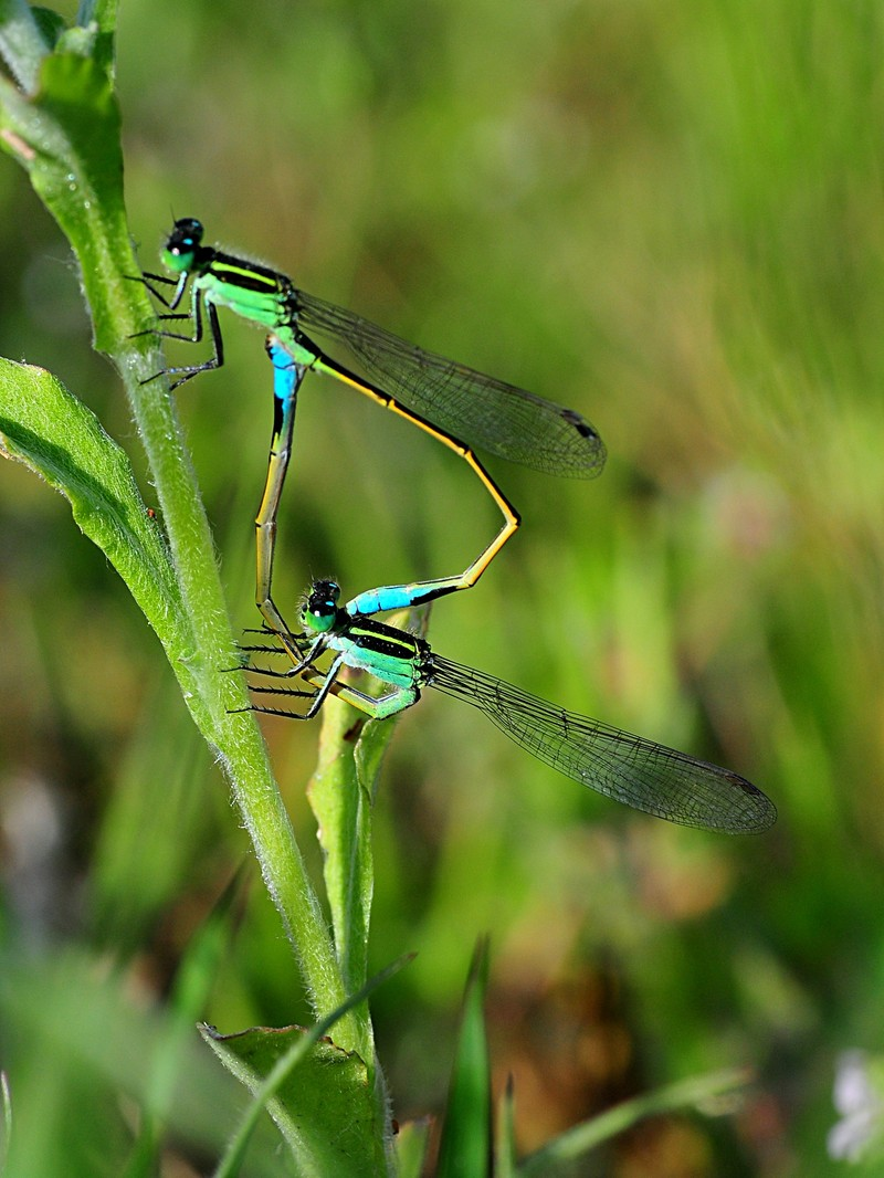 apr 17 4701 mating damselflies