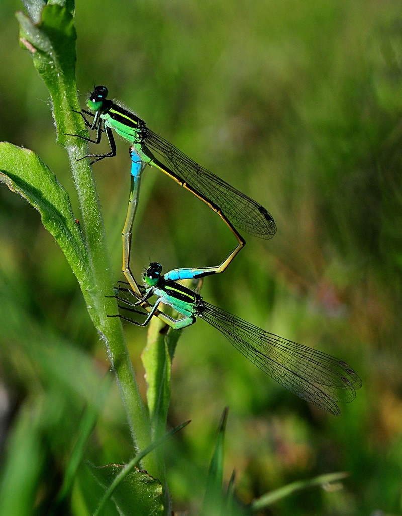 apr 17 4709 mating damselflies