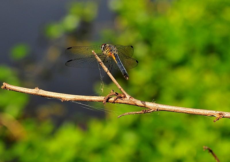 apr 17 4740 dragonfly